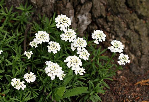 Iberis semperflorens - ibéris toujours fleuri 4143