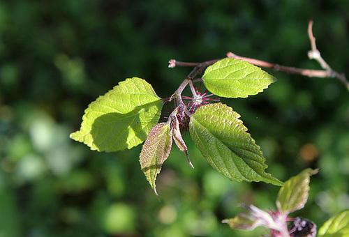 Broussonetia kazinoki (= Broussonetia monoica) 4149