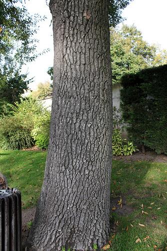 Quercus libani - chêne du Liban 4151