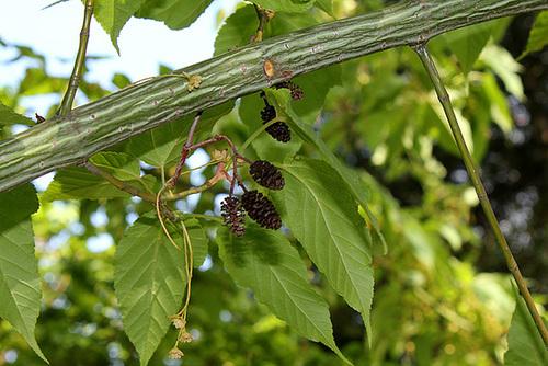 Acer davidii - érable de David, érable serpentine  4152