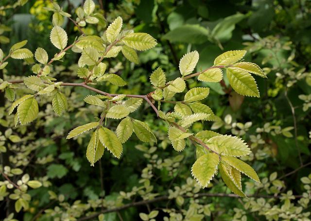 Ulmus parvifolia (= chinensis) - orme de Chine 4156
