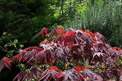 Acer palmatum 'Bloodgood' 4158