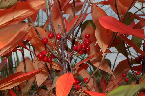 Aronia arbutifolia 'Brilliant' 4160