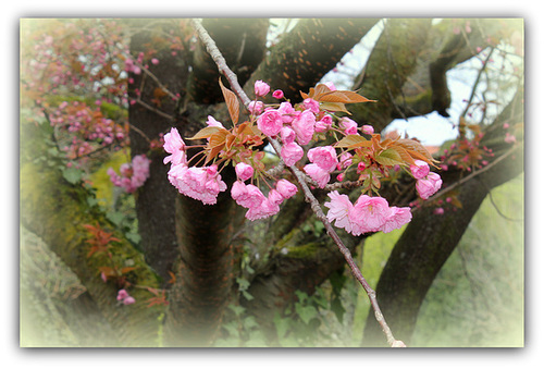 Prunus serrulata - cerisiers à fleurs du Japon 4161