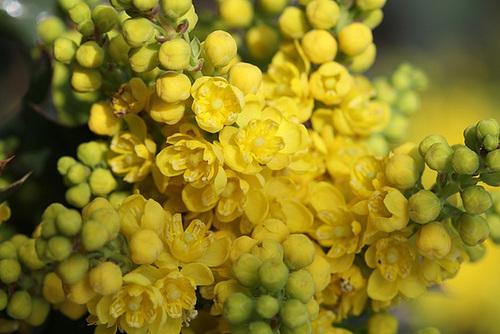 Mahonia x wagnerii (aquifolium x pinnata) 4163