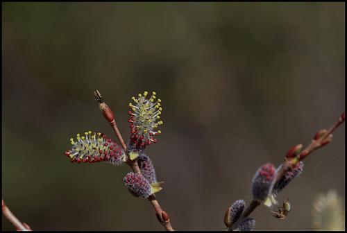 Salix purpurea - saule pourpre, osier rouge 4164