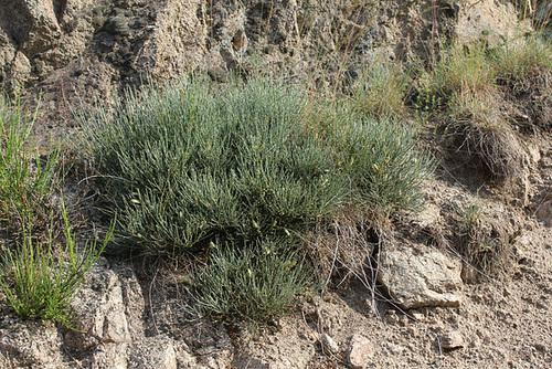 Cytisus oromediterraneus (= C. purgans) - genêt purgatif 4169