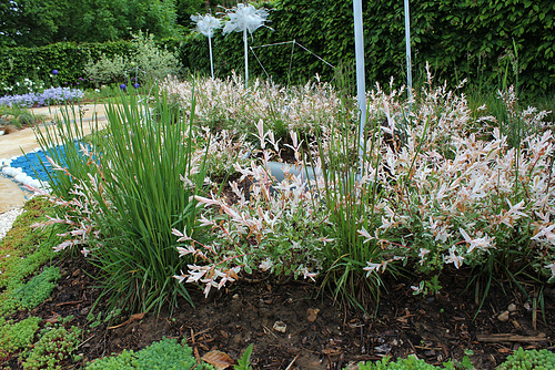 Salix integra 'Hakuro-Nishiki' - saule crevette 4170