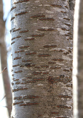 Prunus avium - merisier, cerisier sauvage 4171