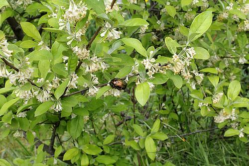 Elaeagnus multiflora - chalef multiflore, goumi du Japon 4178