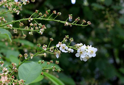 Prunus padus - cerisier à grappes - espèce et cultivars  4179