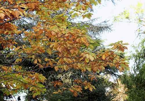 Quercus rubra, Quercus coccinea, Quercus palustris - chênes rouges américains 4186