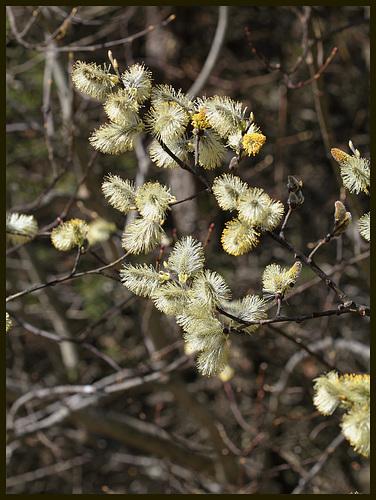 Salix caprea - saule marsault, saule des chèvres 4187