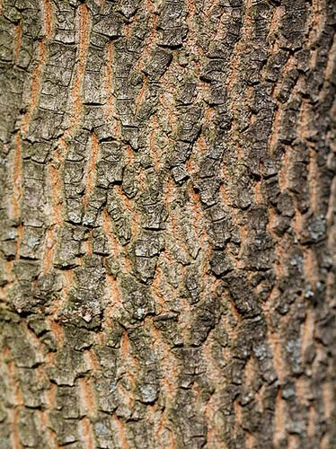 Acer campestre - érable champêtre 4189