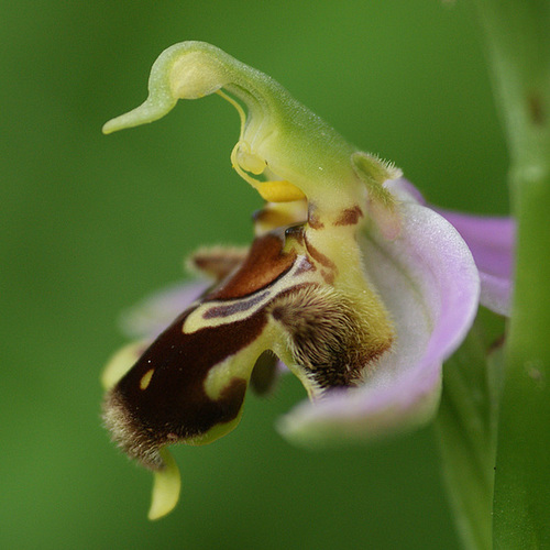 Ophrys apifera - ophrys abeille 419