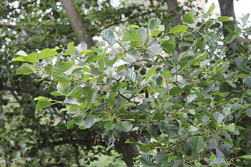 Alnus glutinosa et cultivars - aulne glutineux 4191