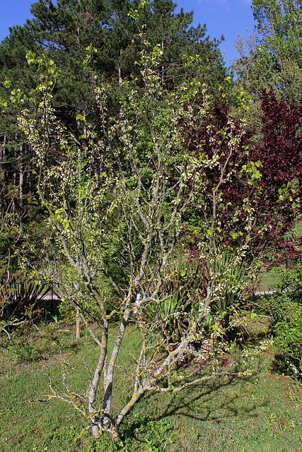 Cercis siliquastrum - arbre de Judée  4194