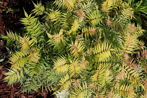 Sorbaria sorbifolia - sorbaria à feuilles de sorbier 4196
