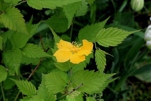 Kerria japonica - corète du Japon 4197