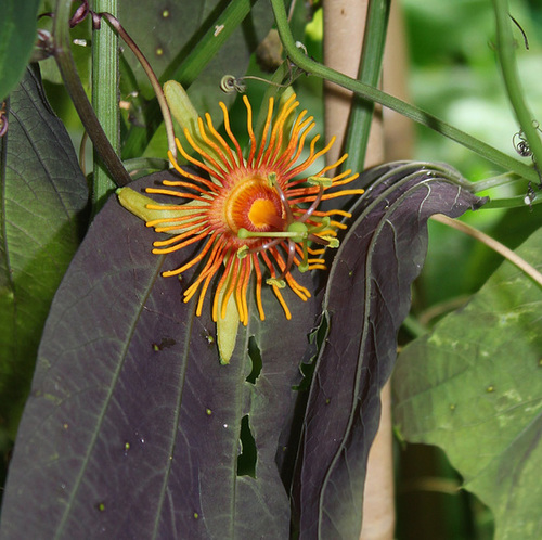 Passiflora 'Sunburst' 4216