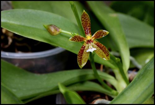 Phalaenopsis lamelligera (= Phalaenopsis cornu-cervi f. lamelligera) 4219