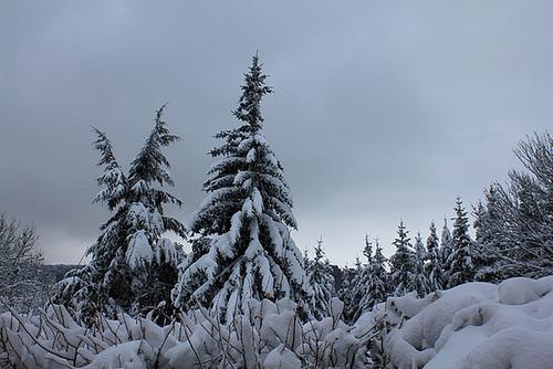 Picea abies (= Picea excelsa) - épicéa commun 4221