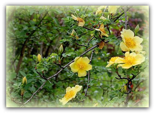 rosier 'Canary Bird' (= Rosa xanthina 'Canary Bird') 4224