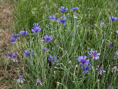 Cyanus segetum (= Centaurea cyanus) - bleuet  4231