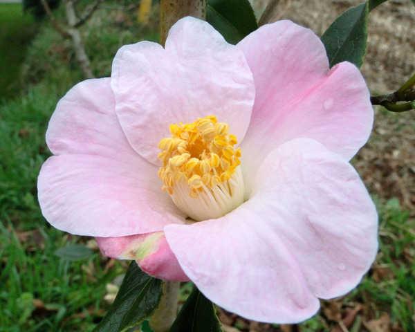 Camellia - choix & conseils de culture - Page 2 4236