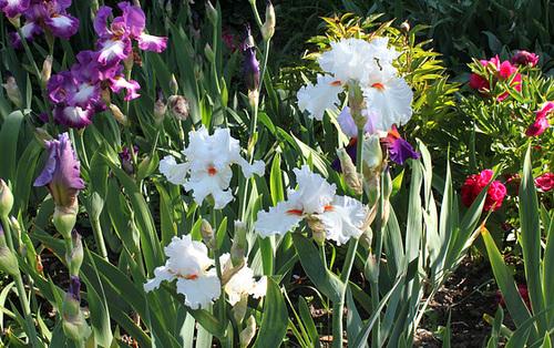 Floraisons de nos Iris barbus 2013 - Page 8 4238