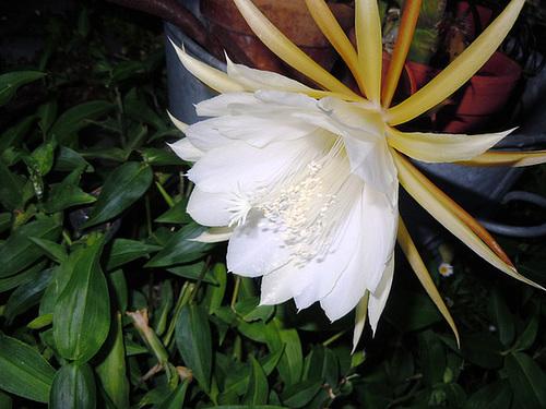 epiphylium - Epiphyllum cooperi 438