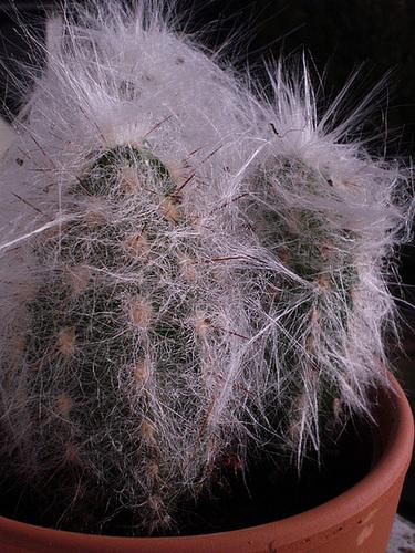 Mammillaria sp., Oreocereus trollii et ?  [identifications non terminées] 439
