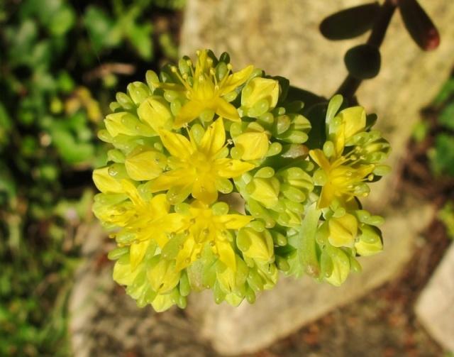 Sedum pachyphyllum 442