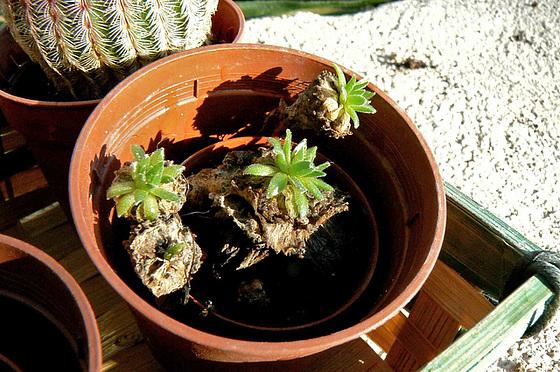 cactées & succulentes - id. non terminées 447