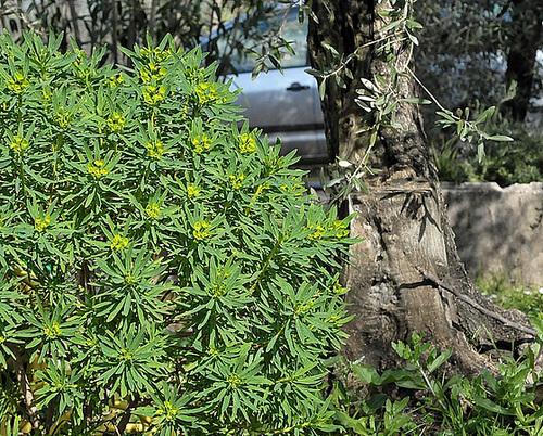 Euphorbia rigida - euphorbe rigide 455
