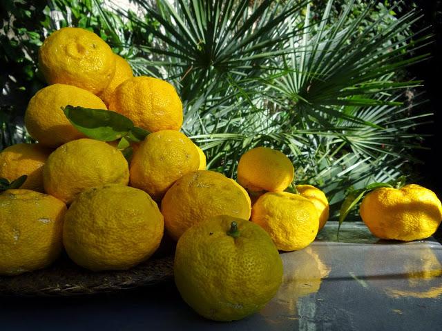 Citrus junos - yuzu 459