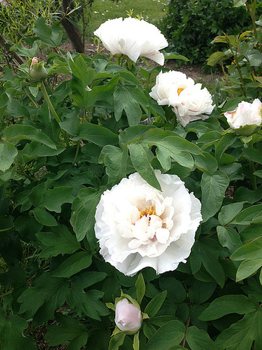 Paeonia - pivoines arbustives - Page 2 465