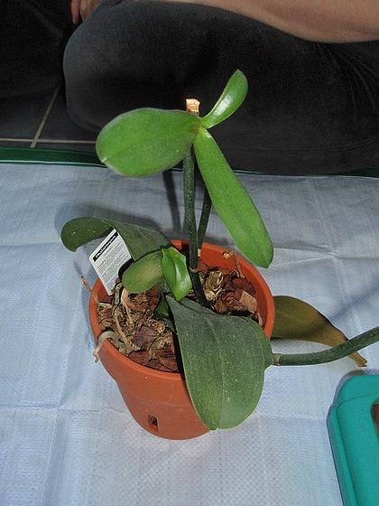 orchidées : questions, problèmes et conseils de culture 470