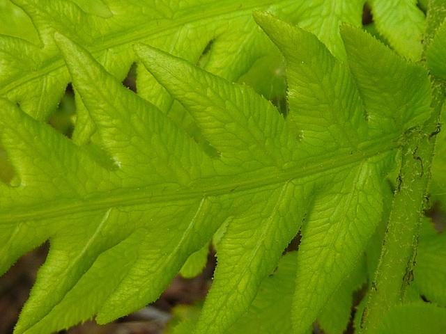 Woodwardia fimbriata 475