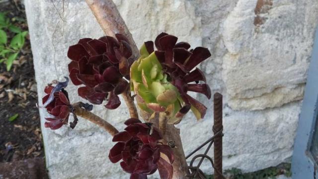 Aeonium arboreum 'Atropurpureum' - Page 4 4_6zaz10