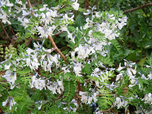 Sophora davidii (davidi) (= Sophora viciifolia) - sophora de David  4_abei15