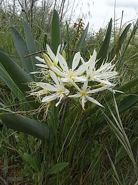 Pancratium illyricum 4_clai10