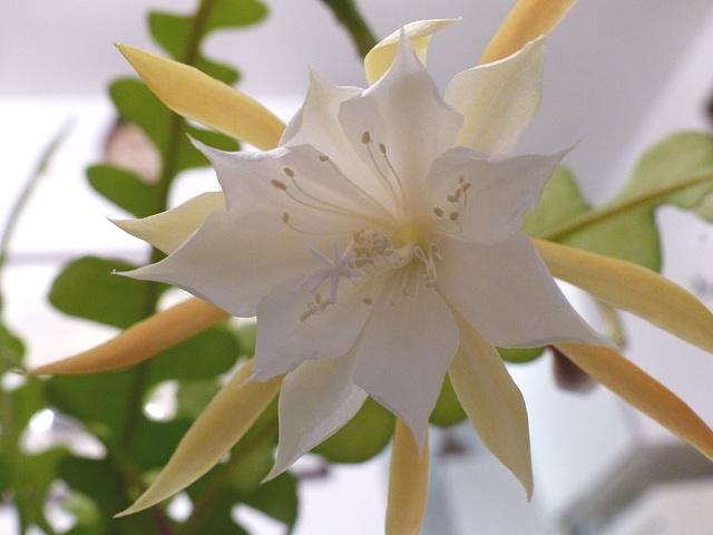 Epiphyllum anguliger 4_dhee12