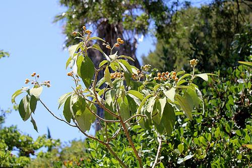 Rhaphiolepis x delacourii 'Springtime' 4_neir11