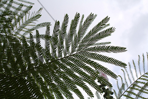 Albizia julibrissin - arbre à soie  4_neir14