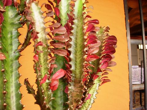 Euphorbia trigona forme rubra  4abei10