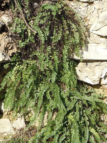 Polypodium groupe vulgare - polypode commun 4abeil12