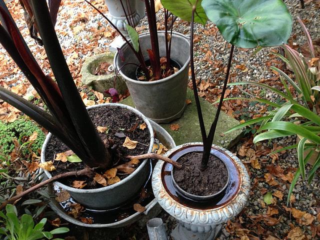 Colocasia esculenta - taro - Page 2 4abeil13