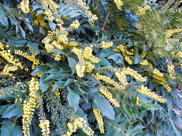 Mahonia eurybracteata - Page 2 4abeil14