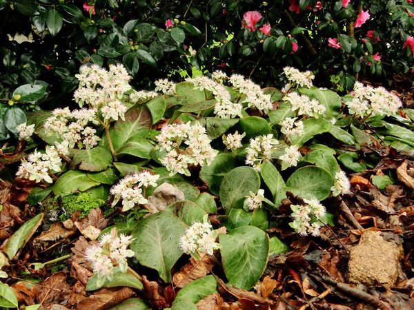 Chrysosplenium macrophyllum 4aval_10